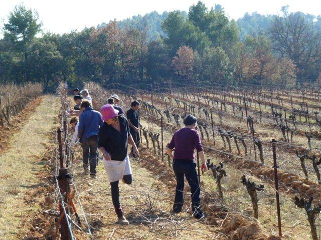 La taille de la vigne à la Cabrery dans autogestion taille-12-012