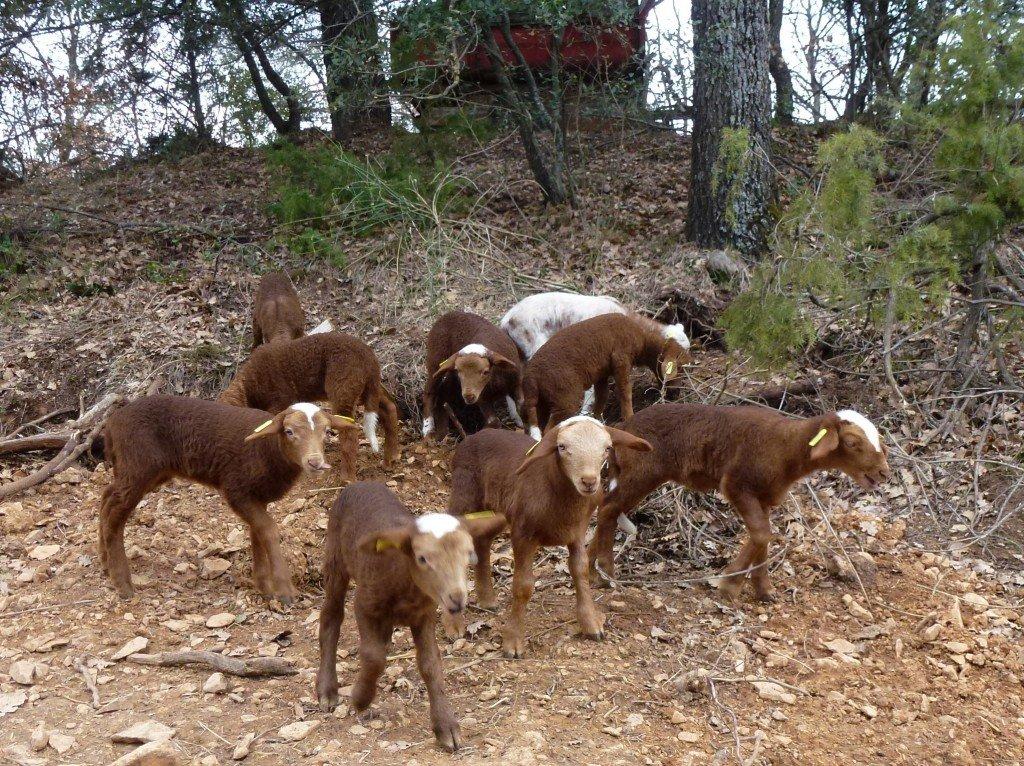 Agnelage à la Cabrery dans Agriculture agnelage-cabrery-021