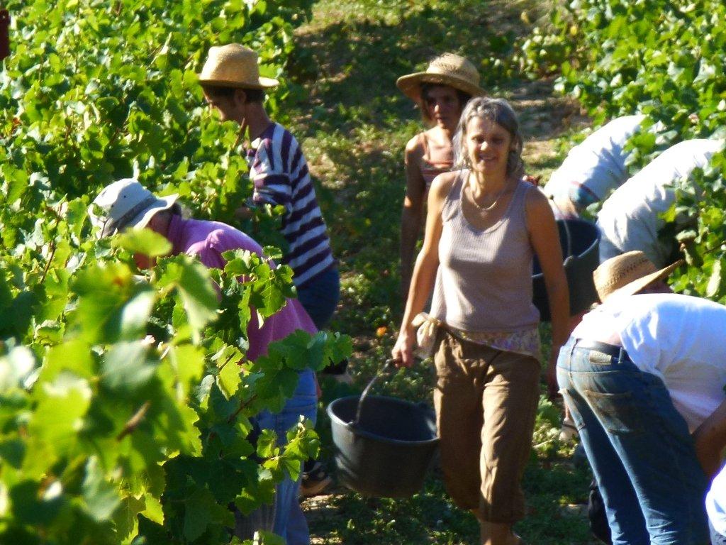 Enfin les Vendanges ! dans Agriculture vendanges-11-077